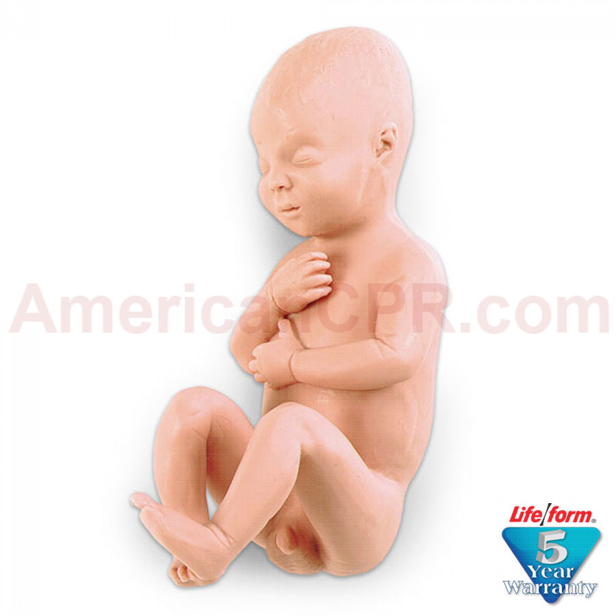 Human Fetus Replica - Full-Term Male - LifeForm