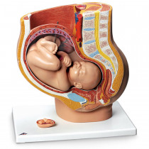 Pregnant Woman Model - LifeForm